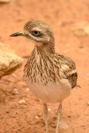 A spotted thick knee (Burhinus capensis) stands and looks around in the desert sand. Native to South Africa, Ethiopia, Kenya, Tanzania, and other parts of central Africa. Stockfoto