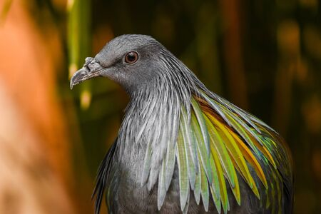 A close up of a nicobar pigeon (dove) (Caloenas nicobarica) with a view of beautiful glossy green and black colours.