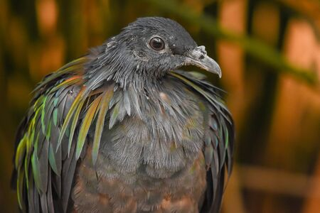 A close up of a nicobar pigeon with a view of beautiful glossy green and black colors.