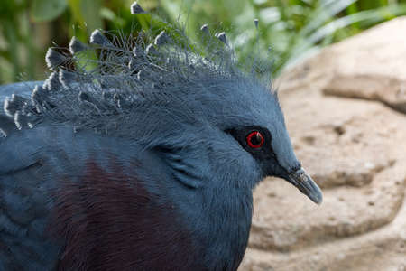 A close up of a Victoria crowned pigeon (Goura victoria) a large, bluish-grey pigeon with elegant blue lace-like crests, maroon and red irises.