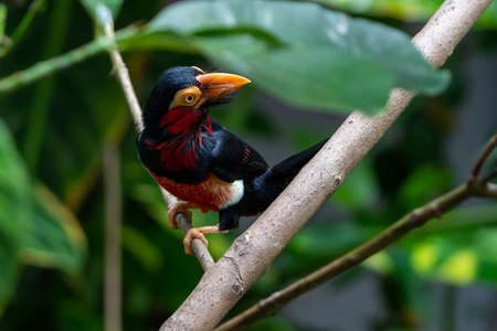 A bearded barbet (Lybius dubius) or an African barbet perched in rainforest tree looking around. Related to toucans.