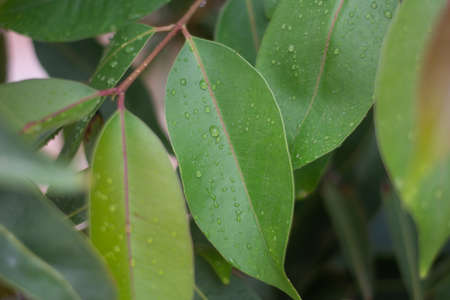 Water droplets on leaves with details for nature, simplicity, beauty concepts.