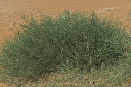 Green resilient desert grass plants with small yellow flowers sits among the patterned and textured orange sands in the United Arab Emirates. 免版税图像