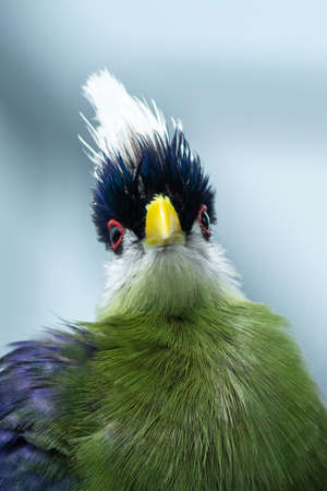 The white-crested turaco (Tauraco leucolophus) perches on a rainforest tree in West Africa looking around and showing off beautiful vibrant purple, green and white colours.