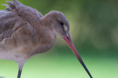 A bar-tailed godwit (Limosa lapponica) is a large wader close up in in non breeding plumage on soft green background at Wasit Wetlands in the UAE.