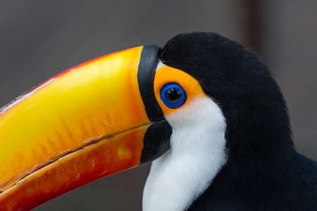 The toco toucan eye close up (Ramphastos toco), also known as the common toucan or giant toucan, is the largest and probably the best known species in the toucan family.