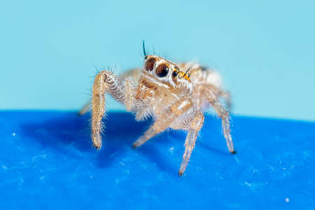 thyene imperialis jumping spider on blue background in the middle east.