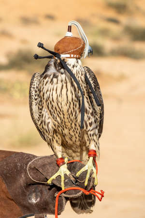 A close up of a peregrine falcon for falconry or racing. Sitting with cap on person's arm in the desert of the United Arab Emirates. 免版税图像