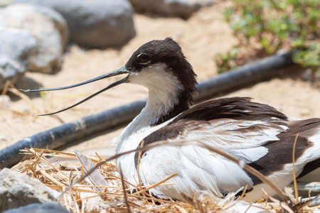 A pied avocet sitting on eggs in a nest (Recurvirostra avosetta) with beak open. A large black and white wader in the avocet and stilt family