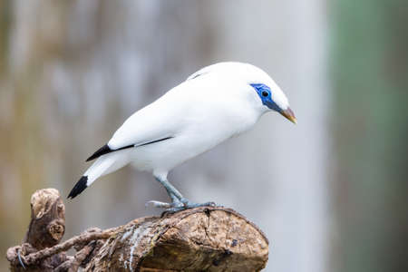 The white Bali myna (Leucopsar rothschildi) , also known as Rothschild's mynah, Bali starling, or Bali mynah, locally known as jalak Bali, is a medium-sized, stocky myna standing on a log.