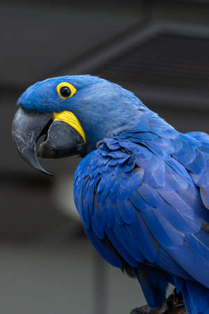 The hyacinth macaw (Anodorhynchus hyacinthinus), or hyacinthine macaw or blue macaw perched on a branch in South America. (portrait) 免版税图像
