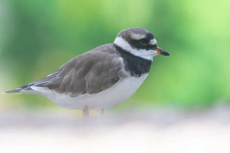 A common ringed plover or ringed plover (Charadrius hiaticula) close up a wading bird in the summer at Wasit Wetlands in the United Arab Emirates.