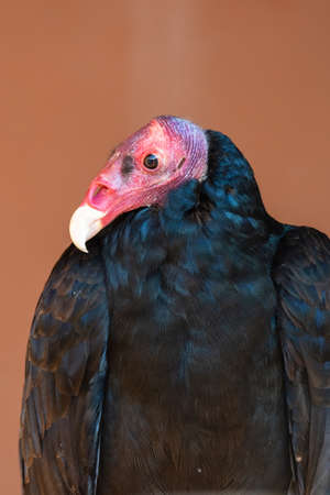 A turkey vulture or buzzard (Cathartes aura) very close up showing off pink head and white beak along with black feathers. Stock Photo