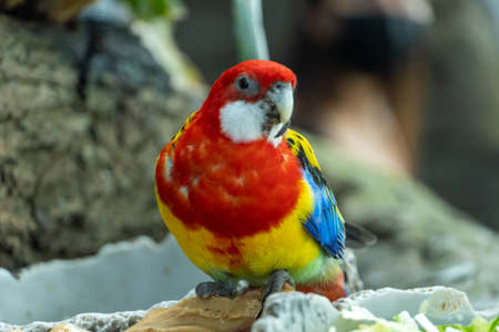 A bright red and yellow eastern rosella (Platycercus eximius) parrot front view.