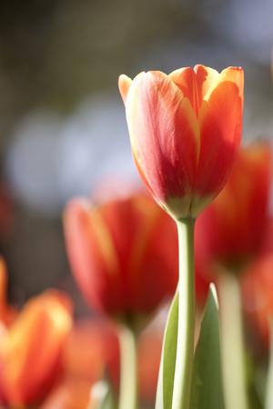 stock photo   tulip: Redyellow tulips Stock Photo
