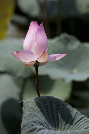 depictions: Lotus has been used in widely in Thai people mythology, paintings and other depictions and is often associated with love or romance. Gods display of HIS creation in all its splendor. Stock Photo