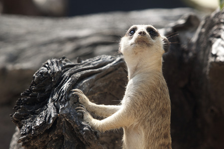 look out: look out meerkat