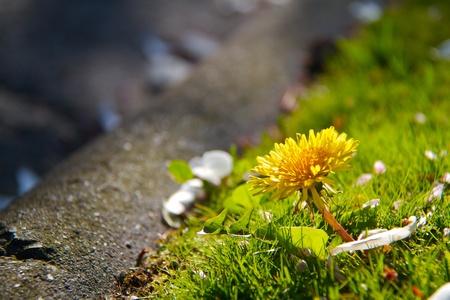 kerb: wild daisy in evening sunshine