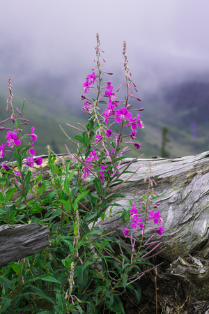 Purple flowers of fireweed near the old big big root against the background of misty mountains (Chamaenerion angustifolium)