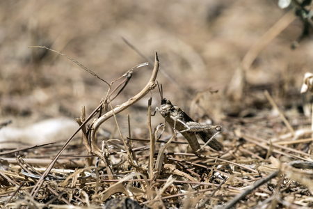 Desert locust hid in the dry grass (Sphingonotus octofasciatus) Stock Photo