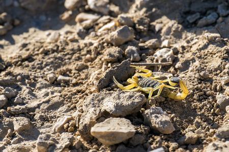 Israeli yellow scorpion known as the deathstalker, hid behind a stone (Leiurus quinquestriatus) Stock Photo