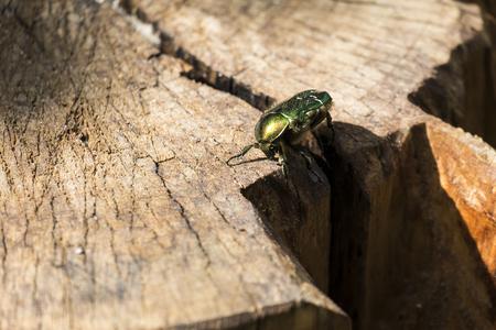 Beetle green rose chafer sits on a stump (Cetonia aurata)