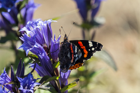 Daytime butterfly Red Admiral sits on a flower of willow gentian (Vanessa atalanta)