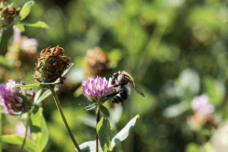Honey Bee collects pollen from a clover flower (Apis mellifera)