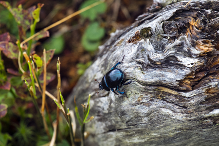 Dor beetle creep on a dry trunk of a tree (Anoplotrupes stercorosus)