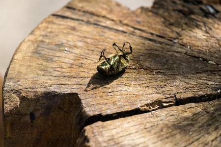 Beetle green rose chafer, lies on the stump with the paws up (Cetonia aurata)