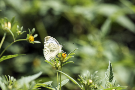 Cabbage butterfly sits on a yellow flower (Pieris brassicae) Stock Photo