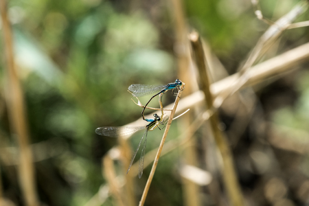 Two dragonflies of variable damselfly in the process of pairing (Coenagrion pulchellum) Фото со стока