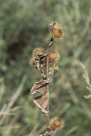 Dried common burdock stem with Spiny Baskets (Arctium minus)
