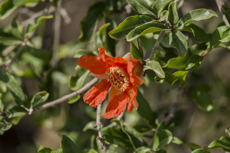 Red flower of a pomegranate tree is waiting for its time to turn into a fruit (Punica granatum)