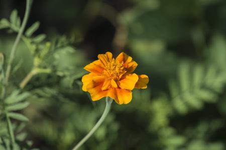 ・背景をぼかした写真にマリーゴールドのオレンジ色の花