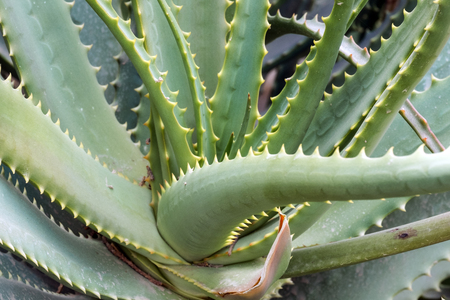 Very old and large leaves of aloe (Aloe vera)