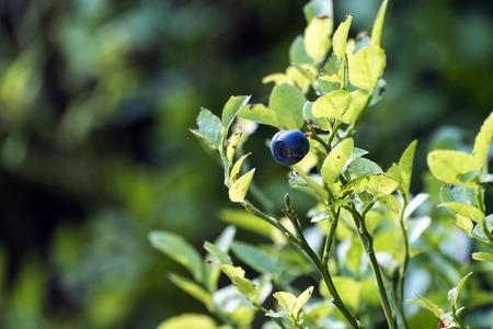 Ripe single bilberry on a green bush (Vaccinium myrtillus) 写真素材