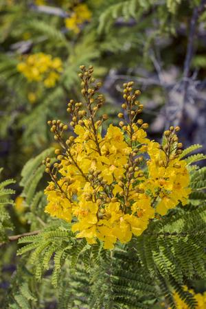 Flowers of the tree yellow flame (Peltophorum pterocarpum)