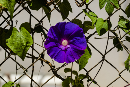 Blue flower morning glory of the Ipomea genus of the family Convolvulaceae (Ipomea Purpurea) Stock Photo