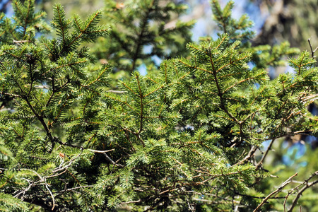 Thorny branches of Carpathian fir trees