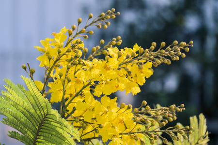 Flowers of yellow flame (Peltophorum pterocarpum)