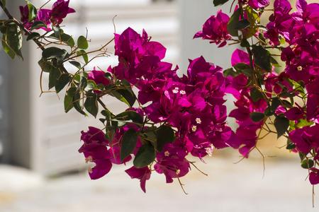 Purple flowers of the evergreen shrub Bougainvillea (Bougainvillea glabra)