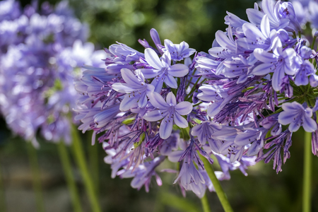 Lilac garden flowers with a globular inflorescence on a blurred background (Agapanthus africanus)