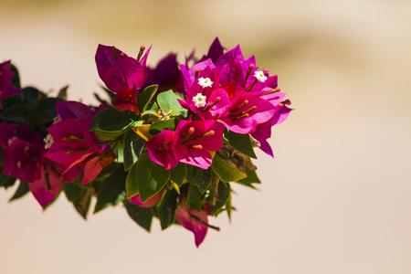 常緑低木ブーゲンビリアのピンクの花(ブーゲンビリアグラブラ)