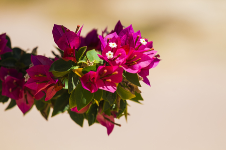 Pink flowers of the evergreen shrub Bougainvillea (Bougainvillea glabra)