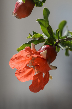 Red flower of a pomegranate tree on a blurry gray background (Punica granatum)