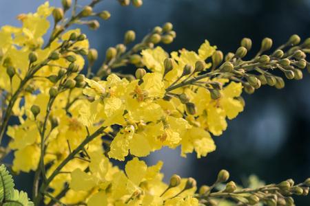 黄色い炎の花(ペルトフォラム・ペテロカルプム)