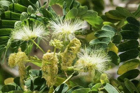 Flowers from acacia silk (Albizia julibrissin) Imagens