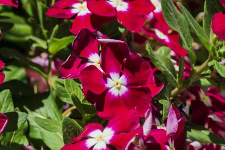 白い中心を持つスカーレットペリウィンクルの花(カタランサスローズ)