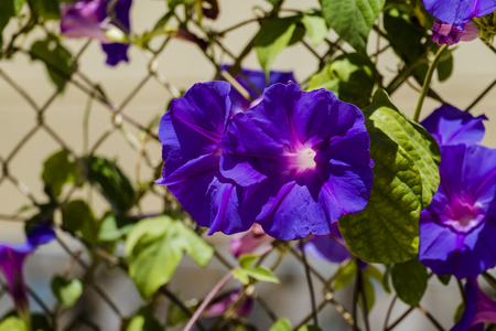 Blue flowers morning glory of the Ipomea genus of the family Convolvulaceae (Ipomea Purpurea) Stock Photo